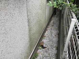 藻が繁殖したモルタル外壁