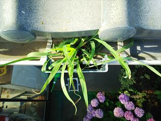 葛飾区金町で行った雨樋調査で上合が詰まり草が生えています
