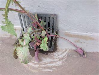 排水溝に植物